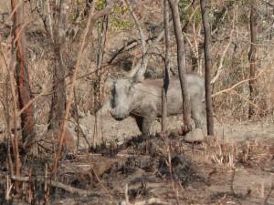 Phacochère à Hluhluwe-Imfolozi park (Afrique du Sud)
