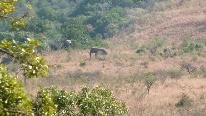 Eléphants à Hluhluwe-Imfolozi park (Afrique du Sud)