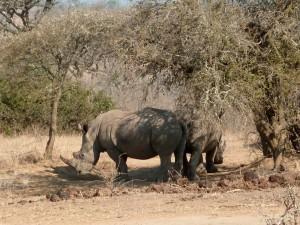 Rhinoceros à Hluhluwe-Imfolozi park (Afrique du Sud)