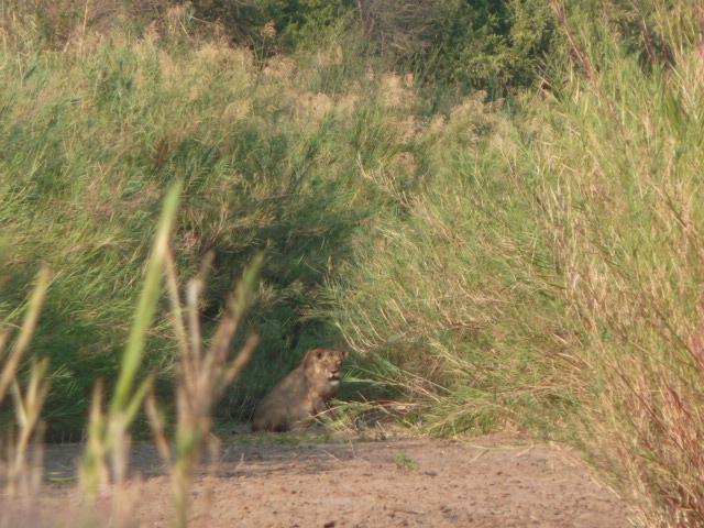 La lionne, croisée lors du bush walk, à Balule Game reserve.
