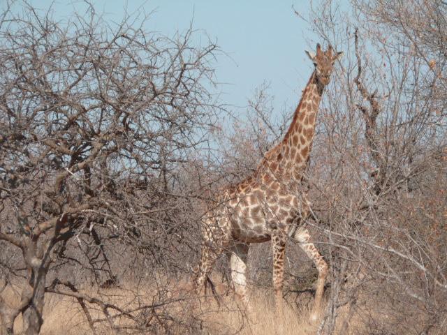 Une girafe à Balule Game reserve (Afrique du Sud)