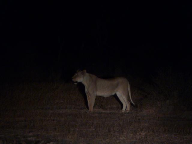 Une lionne, la nuit à Balule game reserve.
