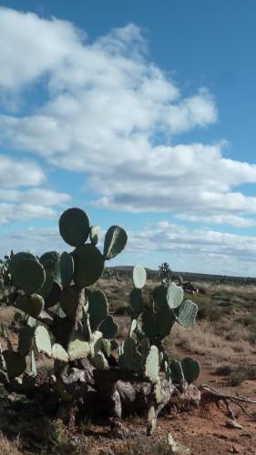 Cactus dans le Karoo, Afrique du Sud