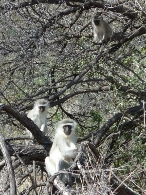 Des singes vervet dans le Karoo