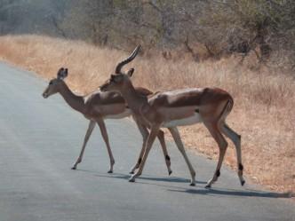 Impalas au Parc Kruger (Afrique du Sud)