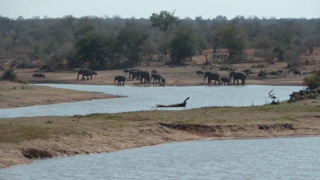 Eléphants et gnous au Parc Kruger.