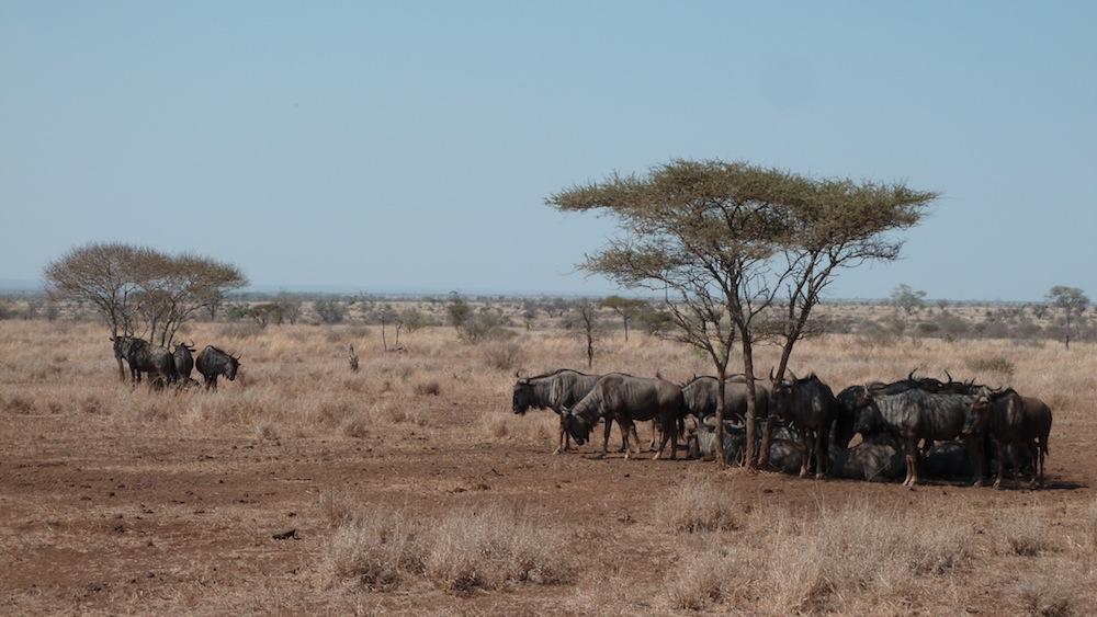 Gnous se réfugiant à l'ombre au Parc Kruger.