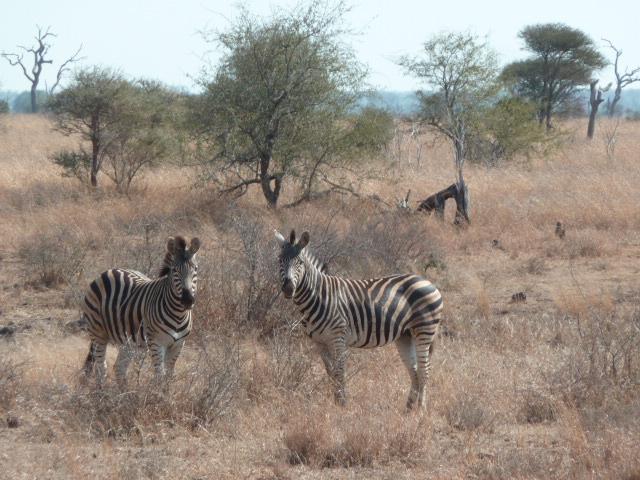 Zèbres au Parc Kruger.