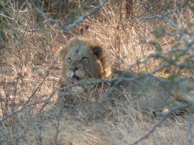 Lion au Parc Kruger.