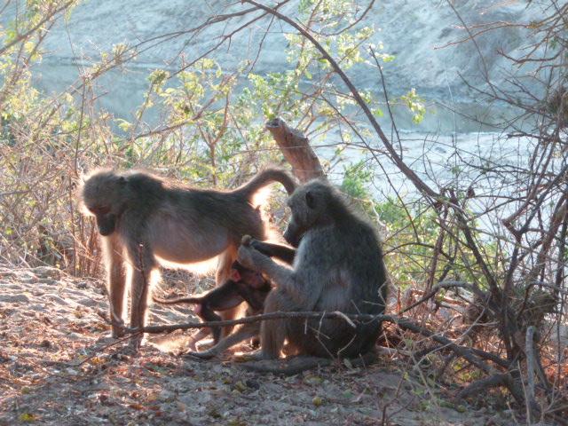 Babouins au Parc Kruger.