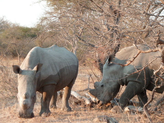 Rhinos à Shukudu Game reserve.