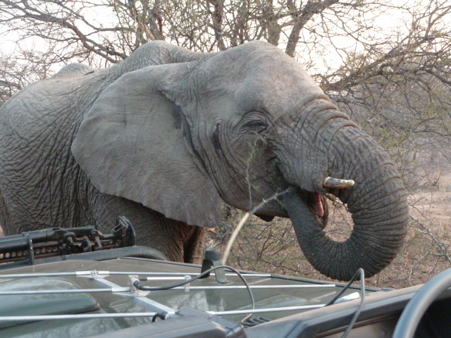 Elephant à Shukudu Game reserve.