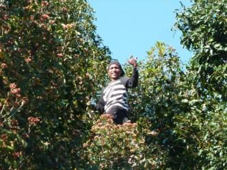Les villageois ramassent les clous de girofle dans les arbres.