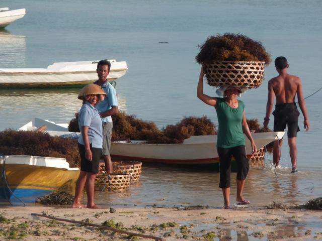 Récolte des algues à Nusa Lembongan.