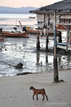 Cabri sur le village à Koh Muk, Thaïlande.