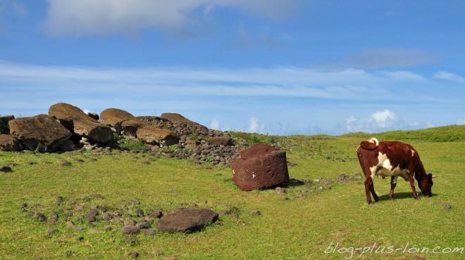 Des vaches paissent à côté des ruines de moais.