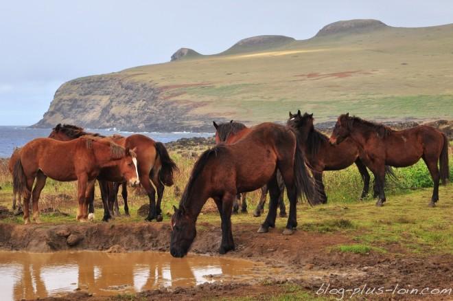 Des chevaux sur la côte nord-est, à Rapa Nui.