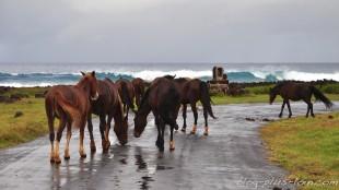 Fesses de chevaux sur la route, à l'est de l'île. Rapa Nui.