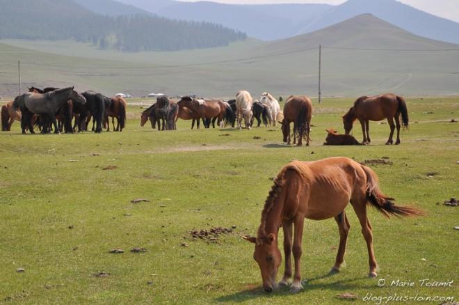 Chevaux dans la vallée de l'Orkhon, Mongolie.