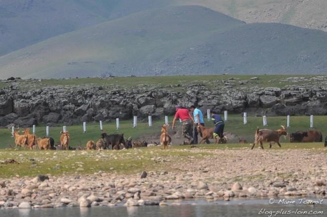 La chèvre est choisie (Mongolie).