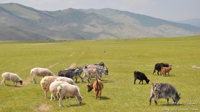 Chèvres et moutons dans la vallée de l'Orkhon, en Mongolie.