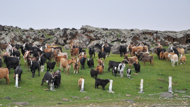 Troupeau de chèvres mongoles.